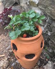 Strawberry Pot, Bainbridge Avenue Community Garden, Bronx, NY