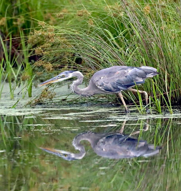 Hunting heron, Canon EOS-1D X MARK II, Canon EF 800mm f/5.6L IS