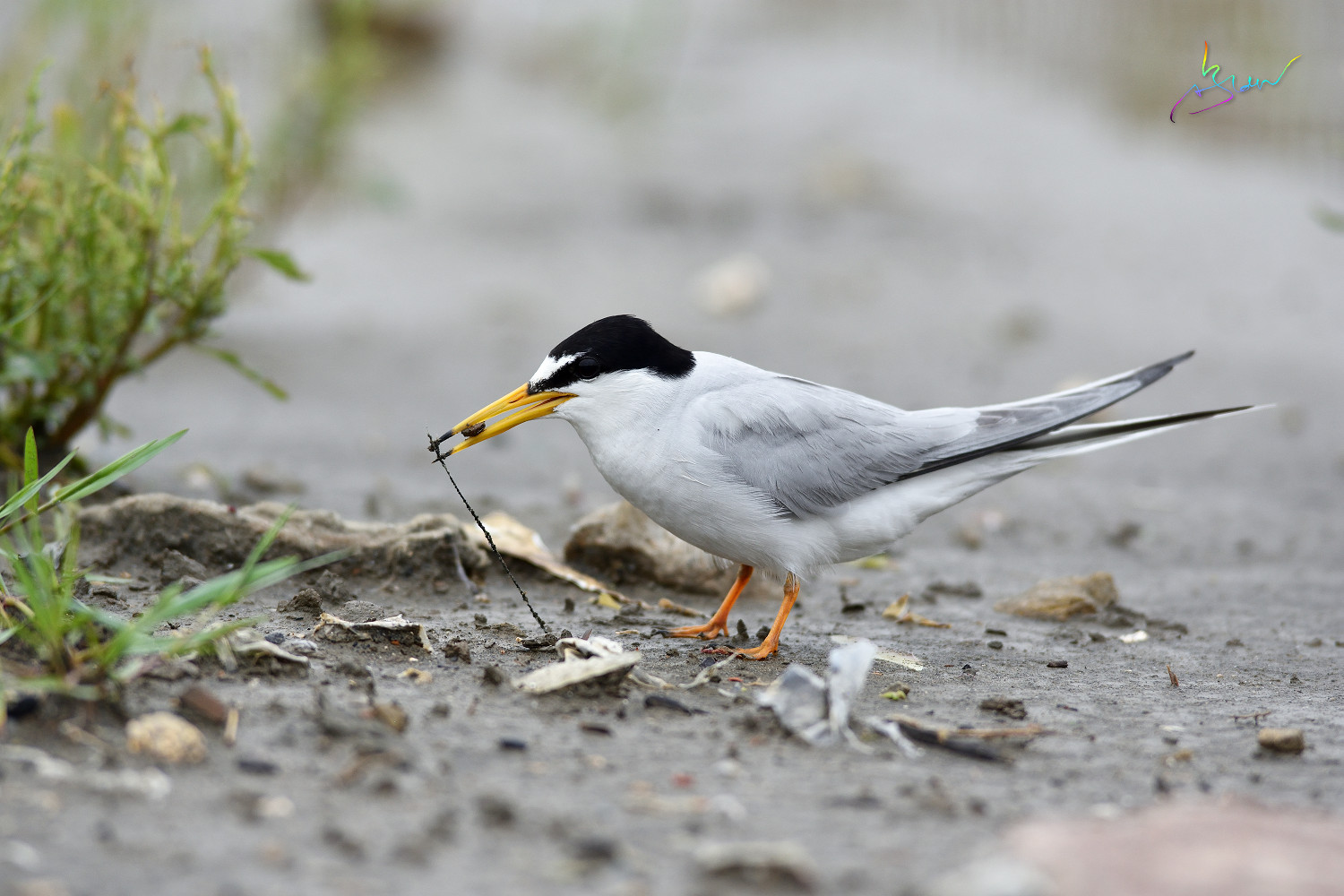 Little_Tern_4164