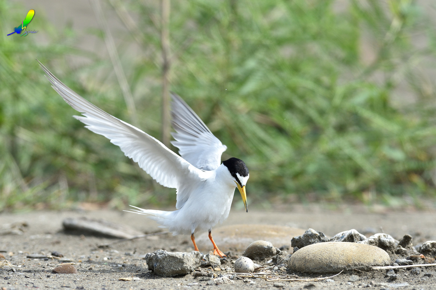 Little_Tern_6586