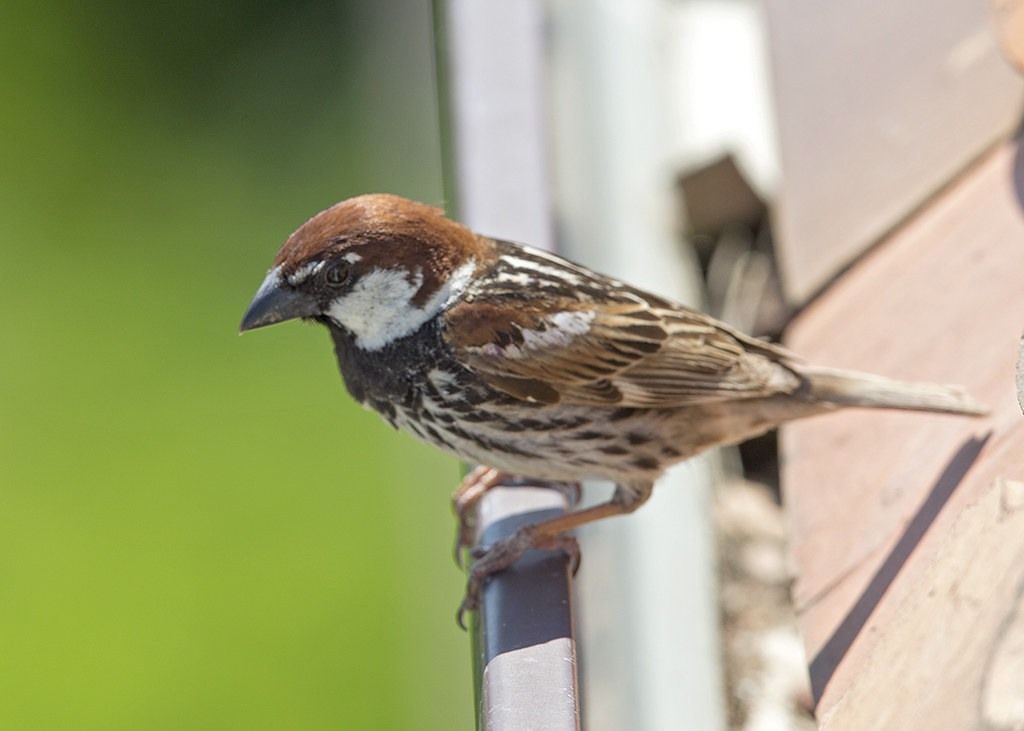 Spanish Sparrow     Passer hispaniolensis
