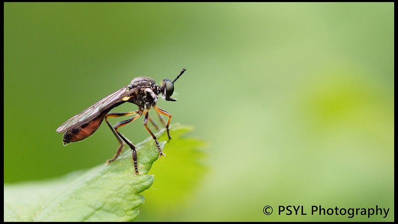 Unknown robberfly (Family Asilidae)