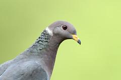 Patagioenas fasciata (Band-tailed Pigeon) - Everett, WA