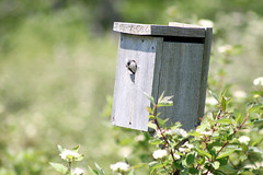 Tree Swallow (female) peaking out of her nest box