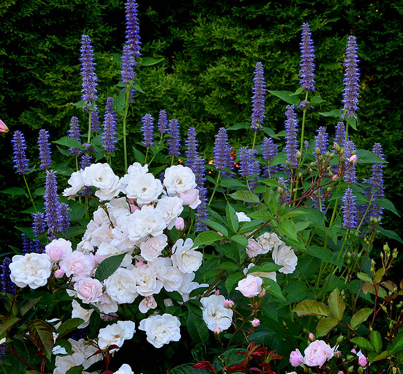 Rose 'Marie Pavie' and Agastache rugose (Giant Hyssop)