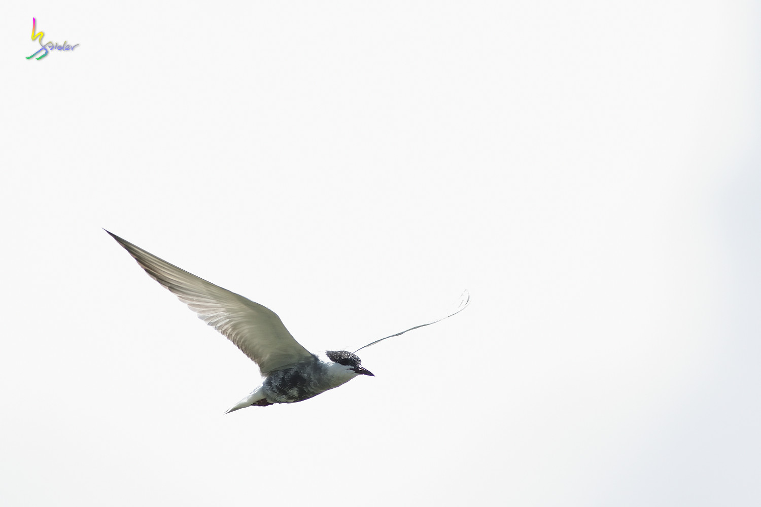Whiskered_Tern_5054