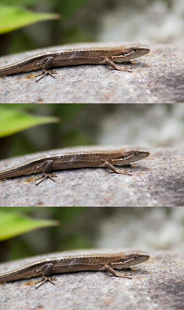Lizard blinks
