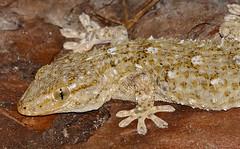 Moorish Gecko (Tarentola mauritanica)(found by Jean NICOLAS)