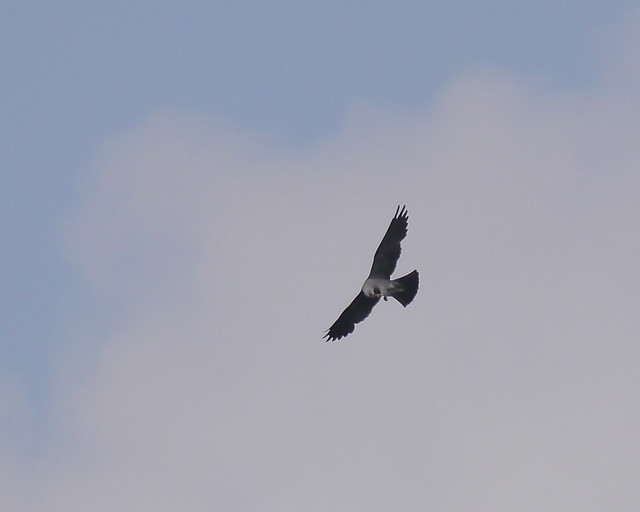 Mississippi Kite - 1