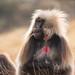 Gelada Baboon (Tim Melling)