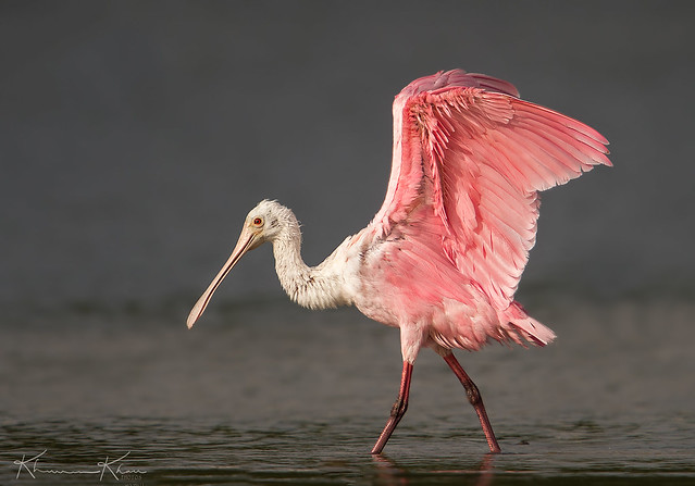Stretching Spoonbill