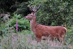 HolderRed Deer Stag