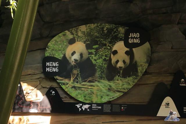 Panda Meng Meng und Jiao Qing im Berliner Zoo 011