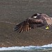 Osprey of Swimming River | 2017 - 2