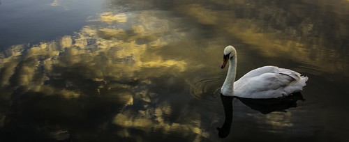 swan sunset water reflections nikond5200 chriswillis3