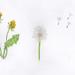dandelion ec