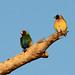 Gouldian Finch by marj k