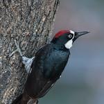 Acorn Woodpecker ♂