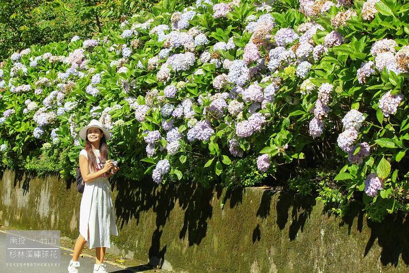 杉林溪繡球花7