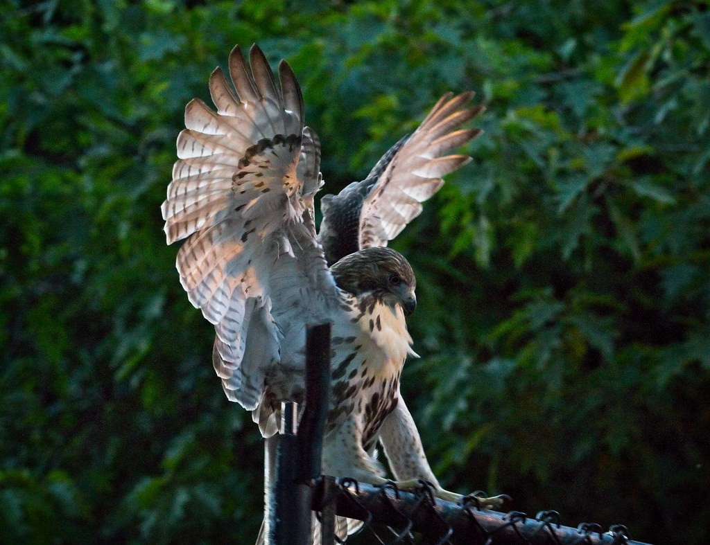 Tompkins fledgling #1 after dark