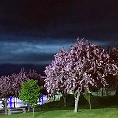 Lilac trees at night in Kamloops.