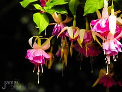 Spring Flowers 2017d