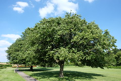 Tree with wide canopy