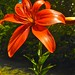 Small photo of Asiatic lily