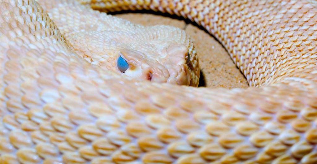Diamondback Rattlesnake_2