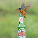 Kingfisher and bottle of Kingfisher Lager