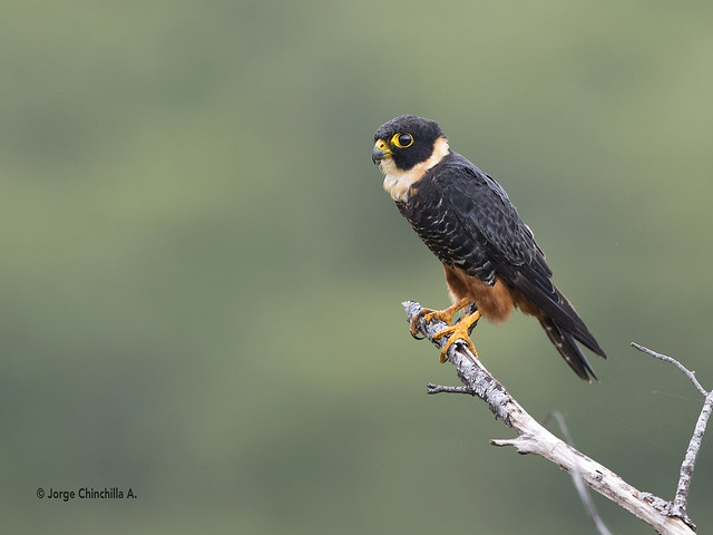 Bat Falcon (Falco rufigularis), Canon EOS-1D X MARK II, Canon EF 600mm f/4.0L IS II USM