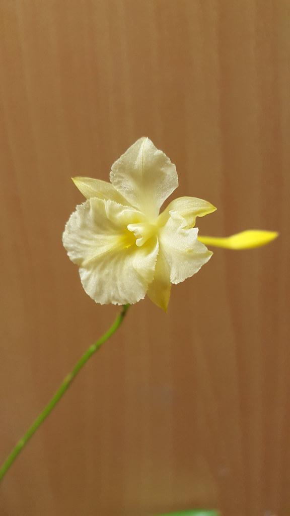 Broughtonia sanguinea var aurea