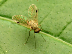 Yellow Snipe Fly