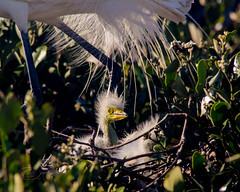 Almost has a Prehistoric look to it!! Great Egret Chick in the shadow of a protecting adult!