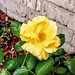 Yellow Rose Julia Child.. by lillypotpie