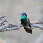 Magnificent Hummingbird ♂