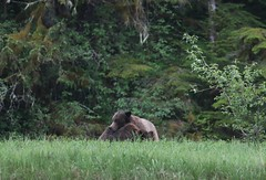 Two Grizzly's having a cuddle in the long grass...