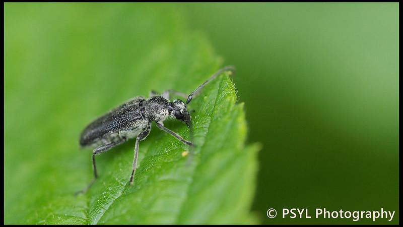 Cerambycid beetle