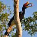 Rhinoceros Hornbill (Lesley Hawkins)