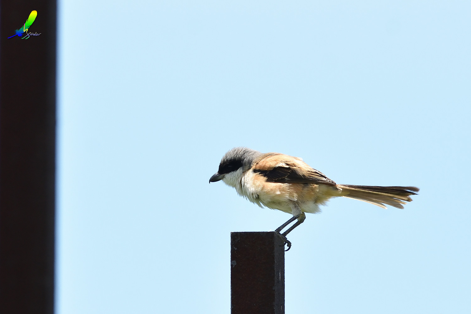 Long-tailed_Shrike_8426