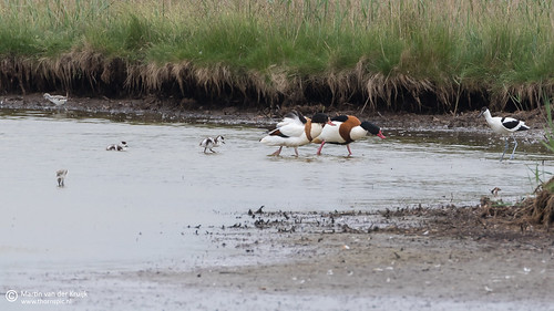 Bergeend - Common Shelduck