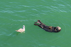 Sea Otter Enjoying Mussels, Santa Cruz, California