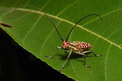 Longhorn Beetle (Macrochenus isabellinus, Lamiinae, Cerambycidae)