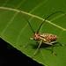 Longhorn Beetle (Macrochenus isabellinus, Lamiinae, Cerambycidae) by John Horstman (itchydogimages, SINOBUG)