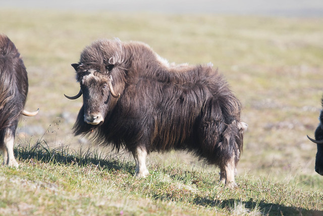Muskox 6, Canon EOS 7D MARK II, Canon EF 400mm f/4 DO IS