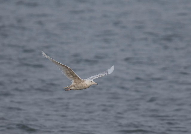 Mew Gull 1, Canon EOS 7D MARK II, Canon EF 400mm f/4 DO IS
