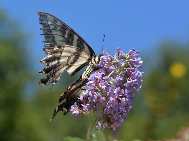 Pale Swallowtail (Papilio eurymedon) butterfly