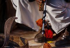 Snake and snake charmer - Jaipur, India
