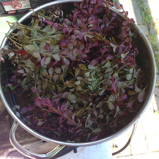 Barberry in dye pot