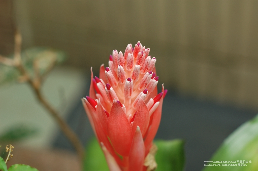 植物攝影: 含苞待放的紅筆鳳梨 (Plant Photography Billbergia pyramidalis)